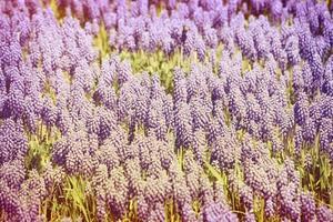 Horizontal background many small lilac flowers photo