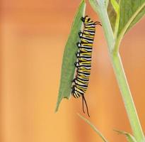 Oruga monarca en hojas de algodoncillo