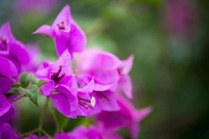 Bougainvillea blooms in the garden, soft focus