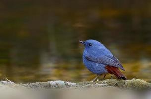Male of Plumbeous water redstart standing on the rock