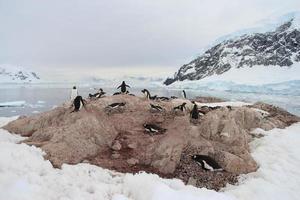Gentoo penguins in Neko Harbor, Antarctica