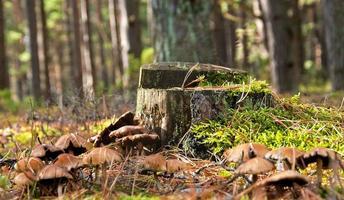 mushrooms at the stump photo