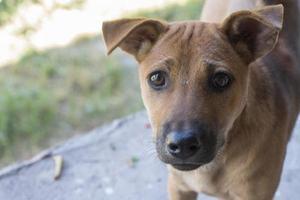 Perro callejero marrón con cicatriz en la cabeza. foto