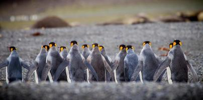 Row of king penguins from back