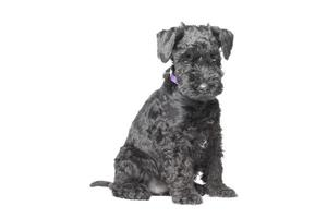 Kerry blue terrier puppy photo