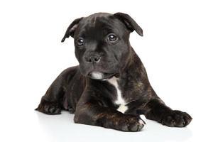 cachorro de staffordshire bull terrier