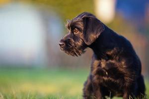retrato de cachorro schnauzer padrão