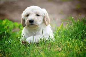 Cream puppy in grass photo