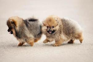 Two Pomeranian Spitz puppies