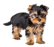 Yorkshire Terrier puppy standing