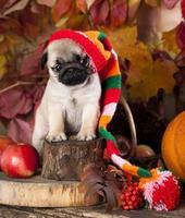 pug puppy in hat