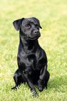 Portrait of Patterdale Terrier in a garden photo