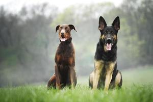 German shepherd dog puppy adn doberman pinscher