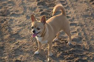 small chihuahua walking on the beach