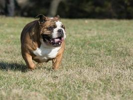 Bulldog inglés foto