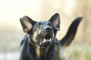 Angry young German shepherd barks and growls in defense