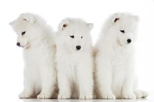 tres cachorros de samoyedo aislados en el fondo blanco. pu divertido foto