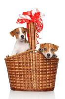 Jack Russell puppies in wicker basket photo