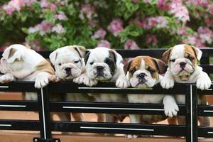 English Bulldog Puppies Standing in Wagon
