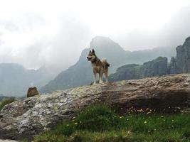West Siberian Laika Dog in cloudy mountains photo