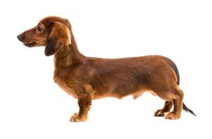 red dog breed dachshund photo