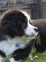 Bernese Mountain Dog puppy, UK