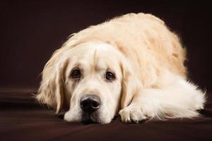purebred golden retriever dog on brown background photo