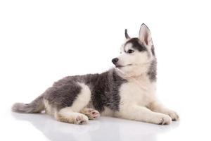 lindo cachorro de husky siberiano acostado foto