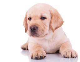 white labrador retriever puppy dog photo