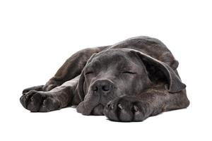 perro cachorro corso de caña gris foto