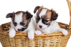 Two puppy in wicker basket