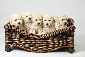 Cute little dogs in a wooden basket photo