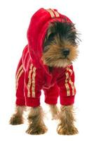 dog in a tracksuit