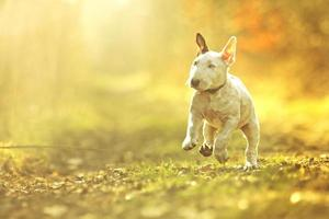 cute english bull terrier puppy dog running in sunset background