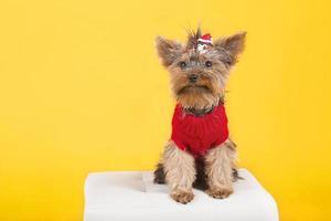 yorkshire terrier en ropa foto