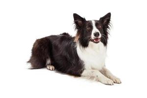 Border Collie Laying Looking Forward