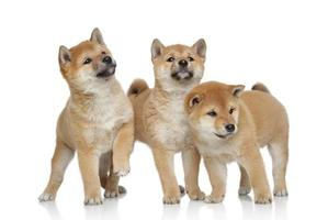 Three Shiba inu puppies on white background