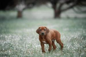 Beautiful dog rhodesian ridgeback photo