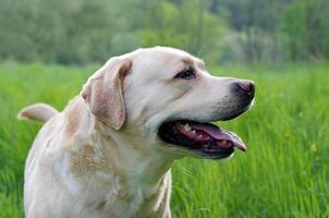 Labrador retriever posando. fondo de verano y hierba foto