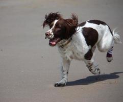 Springer Spaniel Inglés mascota gundog corriendo en una playa de arena foto