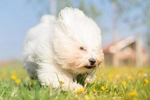 Coton de Tulear running and playing in a meadow photo