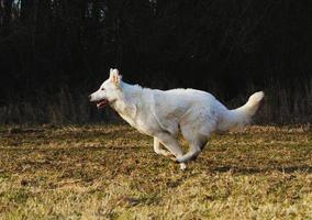 fun white swiss shepherd running in nature