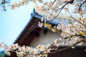 Sakura season in Kaizu Osaki, Japan