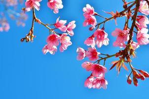 flores de cerezo de primavera