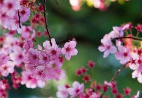 flor de cerezo foto