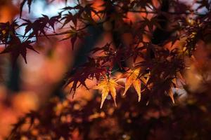 Red maple leaves in Kyoto6