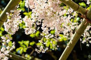 Sakura season in Kyoto, Japan