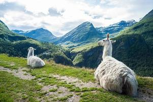 Two white llamas sitting down with beautiful mountain landscape