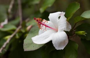 hibisco blanco