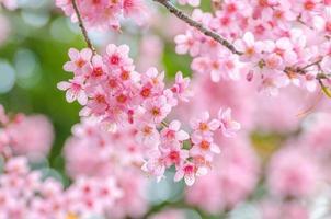 Pink cherry blossom (Sakura)